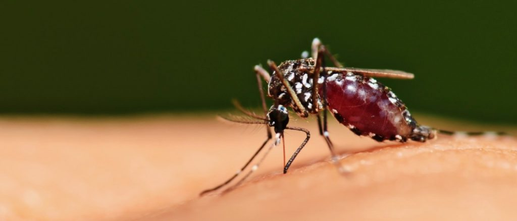 Aedes mosquito feeding on human blood